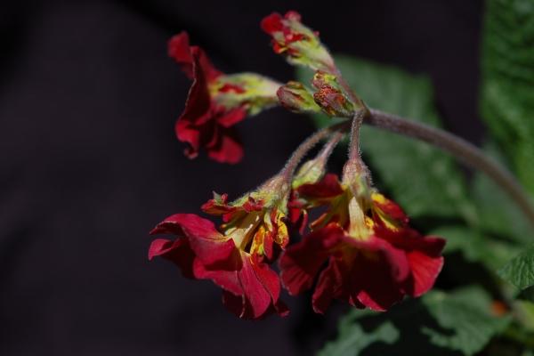 Primula 'Hose in Hose' Image