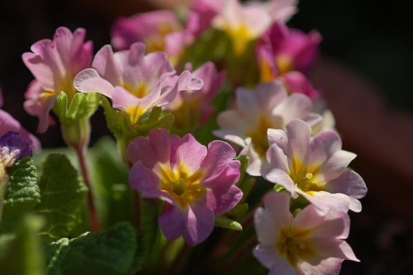 Primula 'Jack in the Green' Image