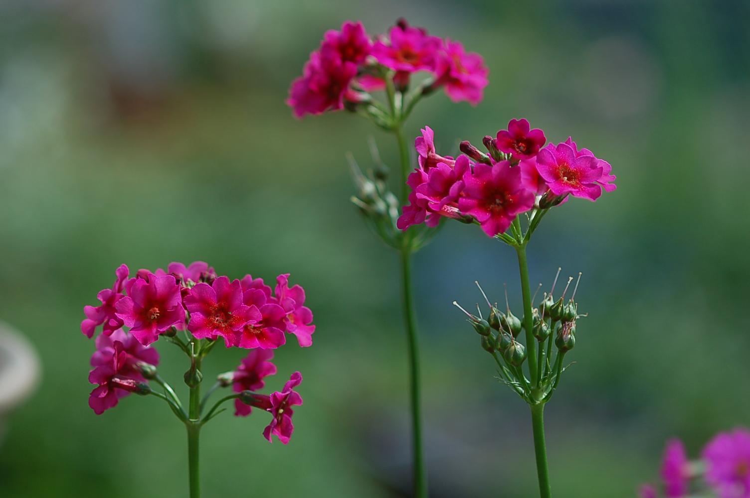 Primula burmanica Image