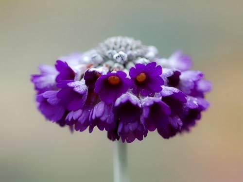 Primula capitata subsp. mooreana Image