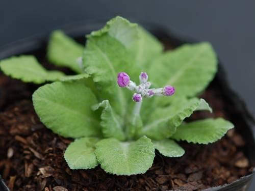 Primula darialica Image