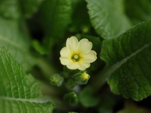 Primula elatior Image
