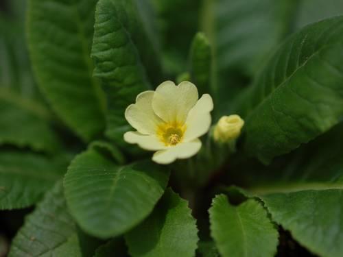 Primula elatior subsp. pallasii Image