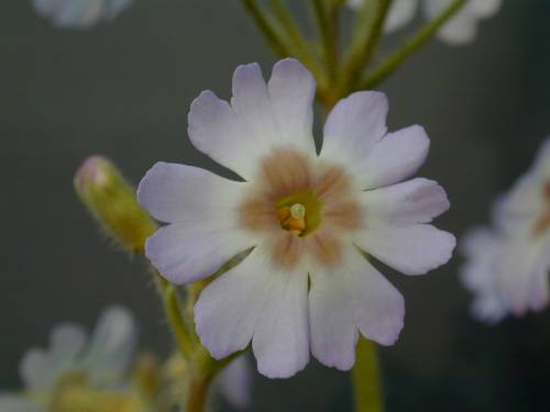 Primula filchnerae Image