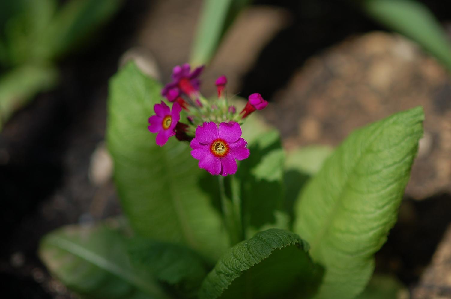 Primula japonica Image