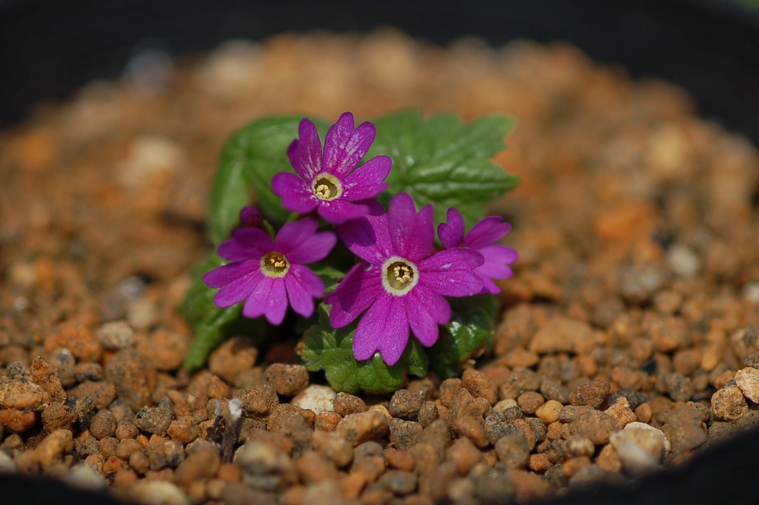 Primula jesoana Image