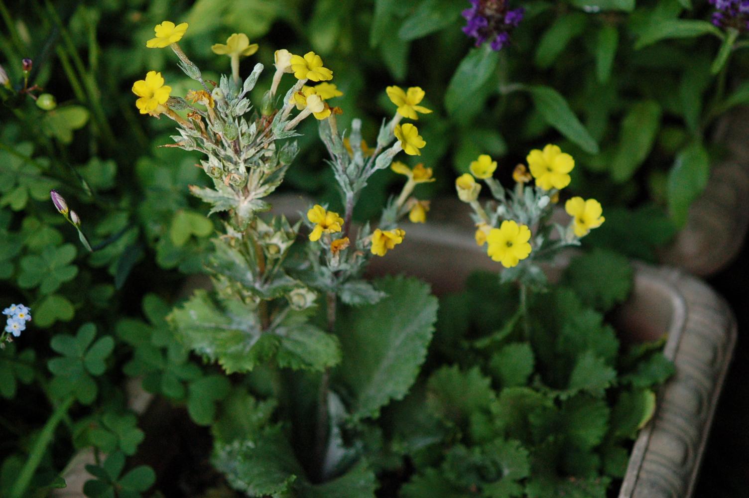 Primula x kewensis Image
