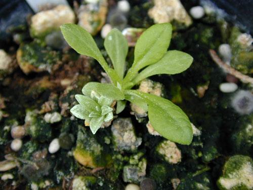 Primula modesta Image