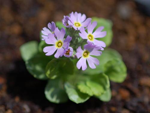 Primula modesta var. fauriae Image