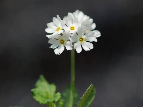 Primula modesta var. fauriae Albiflora Nemuro Image