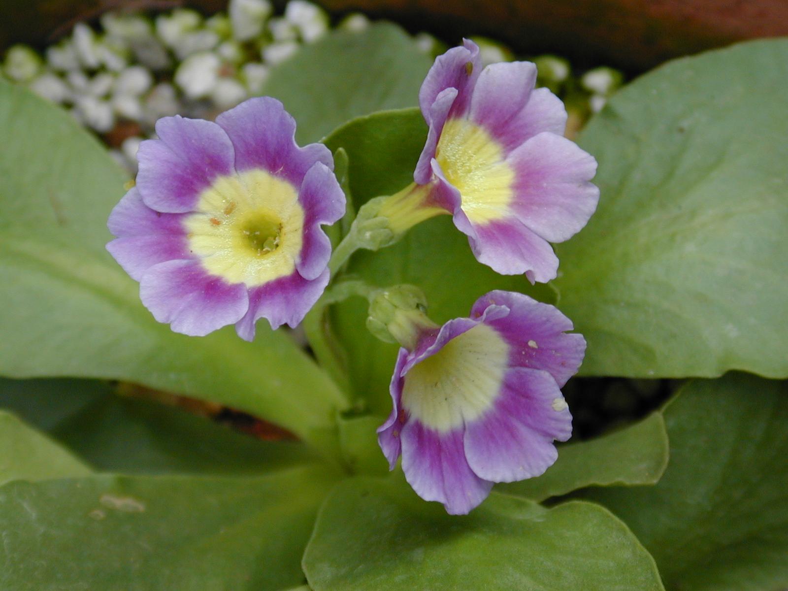 Primula x pubescens Image