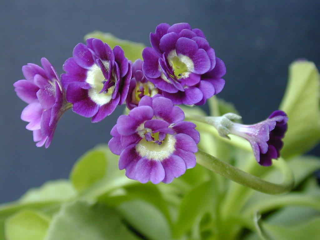 Primula x pubescens Double Auricula Image