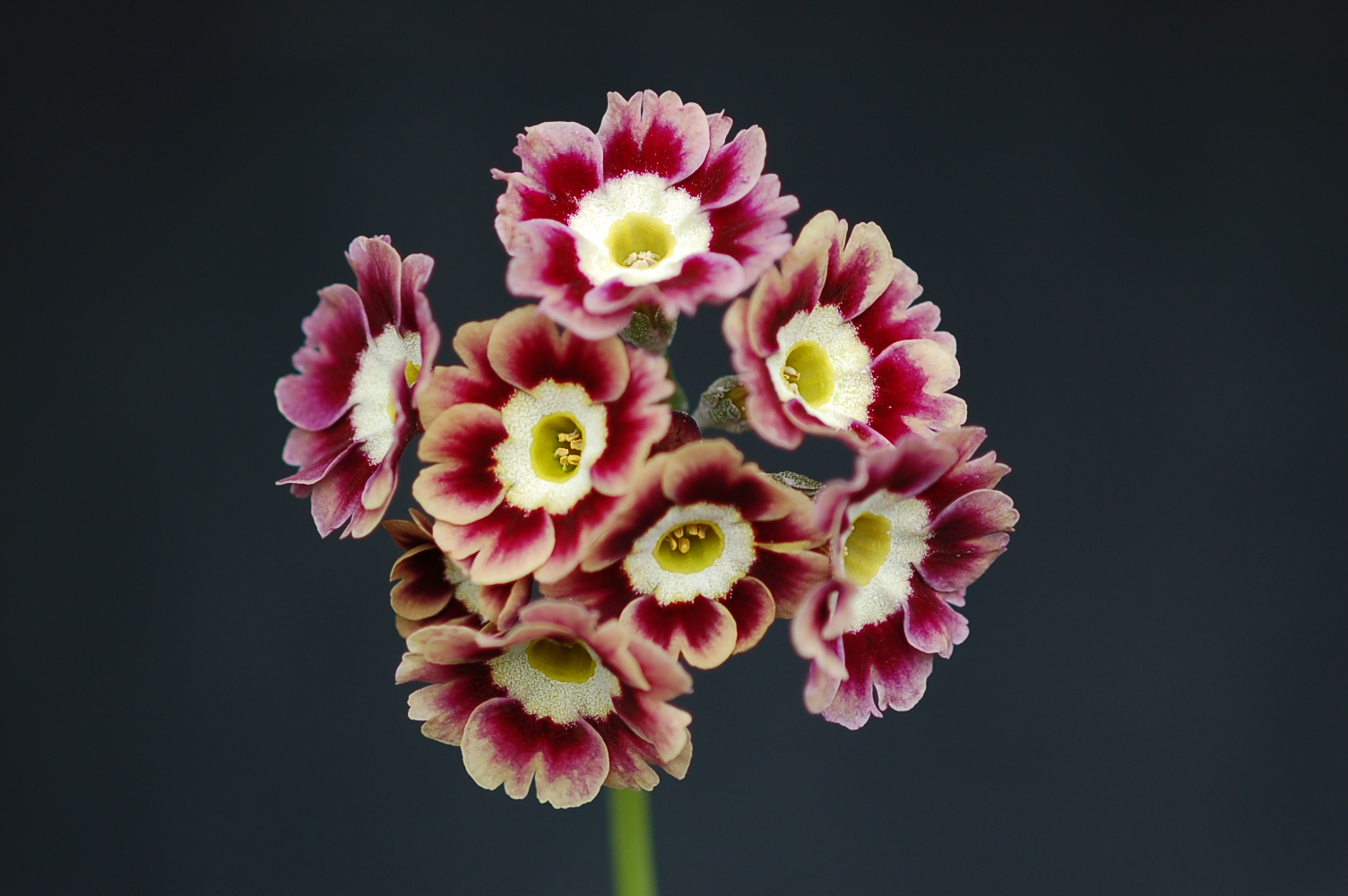 Primula x pubescens Border Auricula Image